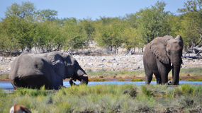 Elephants at a watering hole Stock Photos