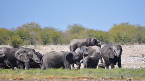 Elephants at a watering hole Royalty Free Stock Images