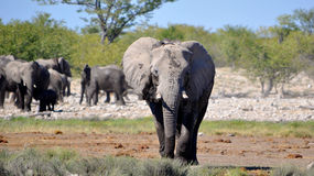 Elephants at a watering hole Royalty Free Stock Image