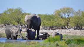 Elephants at a watering hole Royalty Free Stock Photography