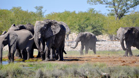 Elephants at a watering hole Royalty Free Stock Photos
