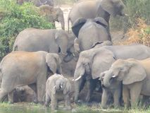 Elephants at a watering hole Stock Photo