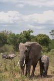 Elephants in the way. Thicket of Masai Mara, Kenya. Elephants with baby in the way. Thicket of Masai Mara, Kenya Royalty Free Stock Image