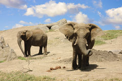 Elephants on the way to a water hole Stock Images
