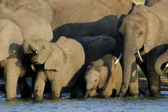 Elephants, Whange, Zimbabwe Royalty Free Stock Photography