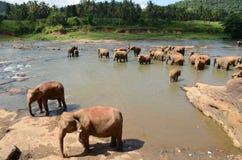 Elephants. Who live in Sri Lanka Royalty Free Stock Image