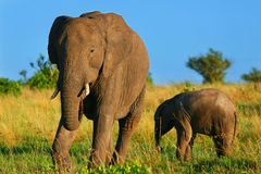 Elephants in the wild Royalty Free Stock Images