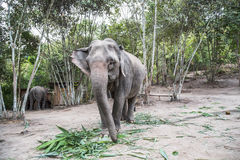 Elephants in the wild of Chang mai, Thailand. Photo captures an elephant eating green vegetation in Chang Mai`s rugged jungle landscape stock image