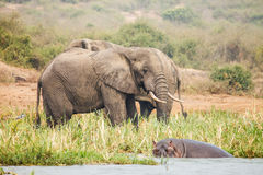 Elephants. In wild near hippo on Uganda Royalty Free Stock Images