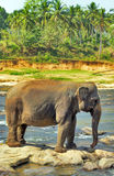 Elephants wild in the river Stock Images