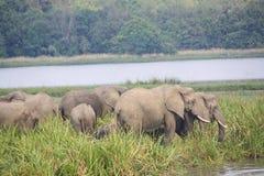 Elephants in the wild Royalty Free Stock Photos