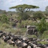 Elephants and Wildebeest Stock Photo