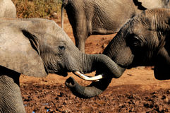 Elephants With Trunks Entwined Royalty Free Stock Photos