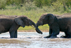 Elephants wrestling. Young bull elephants wrestling in a water hole Royalty Free Stock Photo