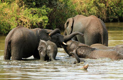 Elephants Wrestling Royalty Free Stock Images