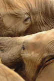 Elephants Wrestling Royalty Free Stock Photography