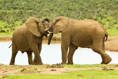 Elephants wrestling at a water hole Stock Photography