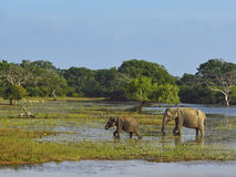 Elephants in yala national park Stock Photos