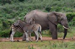 Elephants and zebra Royalty Free Stock Photos