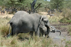 Elephants and zebras. In Serengeti National Park, Tanzania Stock Image