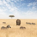Elephants and zebras in the grasslands of the Masai Mara stock images