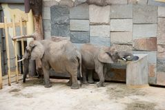 Elephants in a zoo Stock Photography