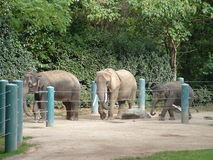 Elephants at the Zoo. Elephants walking in the zoo Royalty Free Stock Image