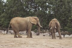 Elephants at the zoo Royalty Free Stock Photos