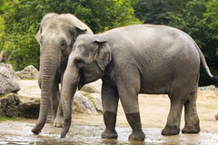 Elephants in zoo Stock Image