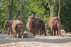 Elephants in zoo. Berlin, Germany. 2018-07-14 stock image