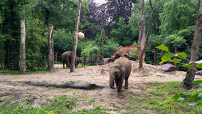 Elephants in zoo Royalty Free Stock Images