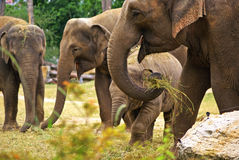 Elephants at the zoo Royalty Free Stock Photography