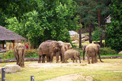 Elephants at the zoo Royalty Free Stock Photos