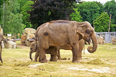 Elephants at the zoo Royalty Free Stock Images