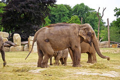 Elephants at the zoo Stock Images