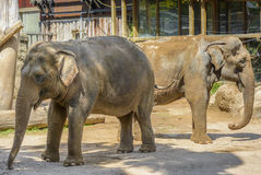 Elephants at Zoo Royalty Free Stock Photo