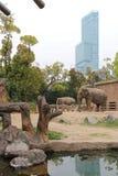 Elephants - zoo of Osaka - Japan. Two elephants live in the zoo of Osaka (Japan Royalty Free Stock Photo
