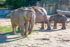 Elephants in a zoo outdoors Royalty Free Stock Photo