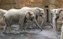 Elephants in the Zoo Royalty Free Stock Images