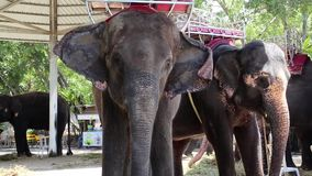 Elephants in zoological garden in Pattaya, Thailand stock video footage