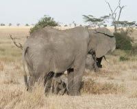 Elephantss Mutter und Schätzchen Stockfotografie