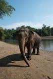 ElephantsWorld北碧泰国 图库摄影