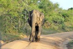 Elephas maximus Fotografia Stock