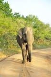 Elephas maximus Fotografie Stock Libere da Diritti