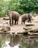 Elephas maximus femminile dell'elefante asiatico con subadult vicino allo stagno fotografie stock
