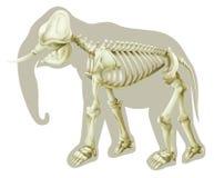 Elephas maximus - kościec Zdjęcia Stock