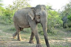 Elephas maximus. An Elephas maximus in walking Stock Image
