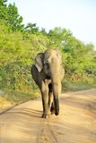 Elephas maximus. Walking in the morning Royalty Free Stock Photos