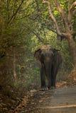 Elephasmaximus för indisk elefant - Makhna Royaltyfria Bilder