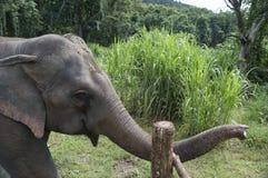 Elephasmaximusen för den asiatiska elefanten är art av proboscideaen Arkivbild